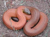 Red color phase of the Common Tiger Snake