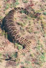 Eastern diamondback with marsh rabbit in stomach weighing the same as the snake